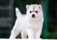 双血统哈士奇幼犬幼犬 纯种哈士奇哪里有 亿丰犬舍直销