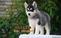 出售纯种哈士奇幼犬 纯种哈士奇哪里有 亿丰犬舍