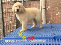 赛级金毛幼犬多少钱 纯种金毛哪里卖 京博犬舍