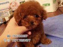 北京哪里有卖泰迪熊价格多少 纯种泰迪熊幼犬价钱多少