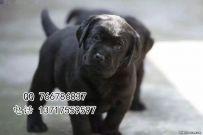 纯种拉布拉多犬出售 北京拉布拉多犬舍 拉布拉多幼犬