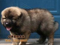 出售纯种高加索 赛系高加索幼犬 北京亿丰犬舍出售