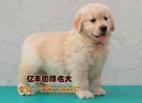 出售纯种金毛 赛系金毛幼犬 北京亿丰犬舍出售