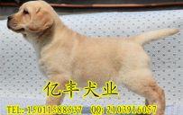 北京亿丰犬舍直销拉布拉多 赛系拉布拉多价格 亿丰犬舍出售