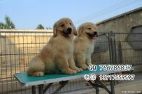 北京哪里出售金毛幼犬 北京金毛幼犬多少钱出售