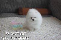 北京那里有卖博美犬 家养小博美怎么卖 博美幼犬