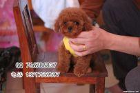 北京哪里买到健康的泰迪幼犬 泰迪幼犬多少钱