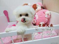 北京迷你比熊犬价格多少 北京法系卷毛比熊幼犬价格