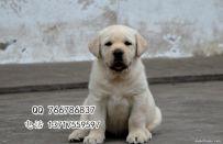 北京拉布拉多幼犬多少钱 黑色拉布拉多 出售可签协议