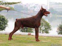 双血统杜宾幼犬多少钱 纯种杜宾亿丰犬舍