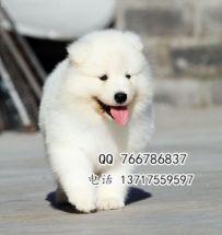 狗场直销纯种萨摩幼犬 多只选择 狗场包售后可签协议