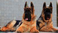 锤系德牧幼犬出售 纯种德牧幼犬多少钱