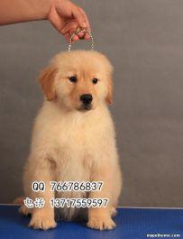北京哪里出售纯种枫叶系金毛幼犬 双血统金毛多少钱