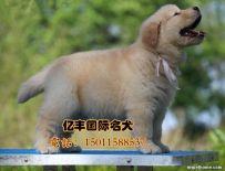 出售纯种金毛 赛级金毛幼犬多少钱
