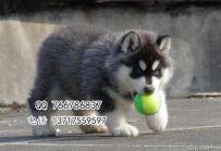 赛系哈士奇幼犬 北京哈士奇幼犬价格 三把火蓝眼睛哈士奇价格