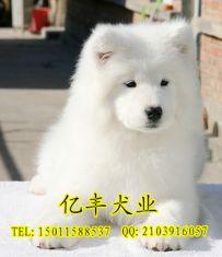 出售纯种萨摩 赛系萨摩幼犬出售 可送货