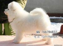 出售顶级萨摩耶幼犬、澳系赛级血统、纯种健康