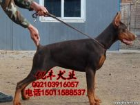 出售纯种杜宾 赛级杜宾幼犬多少钱 亿丰犬舍直销