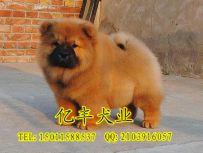 亿丰犬舍直销松狮 赛系松狮价格 北京亿丰犬舍出售