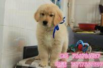 北京哪里有卖宠物狗 赛级金毛的价格多少