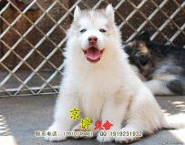 哈士奇幼犬出售 纯种哈士奇价格 京博犬舍