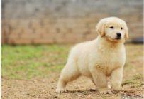 出售纯种金毛 赛级金毛幼犬多少钱 亿丰犬舍