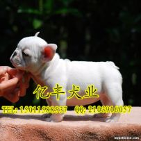 出售纯种法牛 赛级法牛幼犬多少钱 亿丰犬舍直销