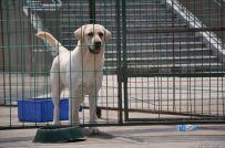 纯种拉布拉多犬多少钱 北京哪卖拉布拉多犬 签署协议