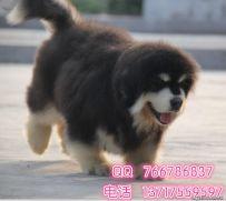 北京哪里有卖阿拉斯加的地方 北京阿拉斯加幼犬怎么卖