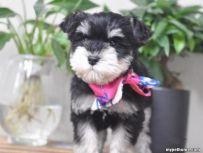 纯种雪纳瑞犬哪里有出售 雪纳瑞多少钱一只