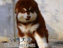 纯种阿拉斯加幼犬出售 赛级阿拉斯加价格