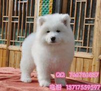 北京哪里有卖萨摩的 萨摩耶去哪里买 可以放心的犬舍