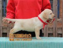 北京亿丰犬舍直销拉布拉多 赛系拉布拉多价格 公母均有
