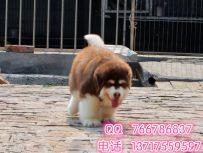 北京阿拉多少钱一只.阿拉斯加哪里卖.可送到家挑选
