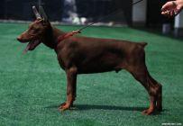 出售纯种杜宾 赛级杜宾幼犬多少钱