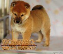 出售纯种柴犬 赛级柴犬哪里有 亿丰犬舍直销