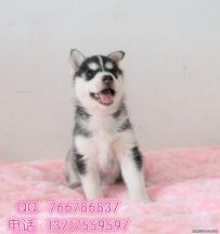 三把火蓝眼睛纯种健康哈士奇幼犬 北京可送货上门挑选