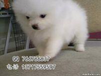 北京哪里有博美犬 赛级博美犬 纯种博美多少钱
