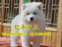 出售纯种萨摩耶 纯种萨摩耶哪里有 亿丰犬舍直销