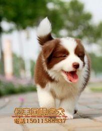 出售纯种边牧 赛系边牧价格 北京亿丰犬舍出售 可送货