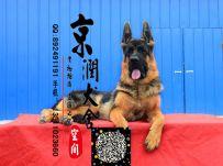 北京哪里出售纯德牧犬