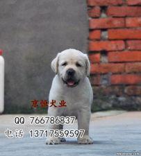 北京哪里卖纯种拉布拉多犬 纯种拉布拉多犬多少钱