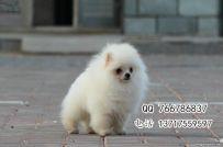 北京哪里有博美幼犬,纯种哈多利球体博美