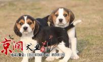 北京哪里出售纯种比格犬