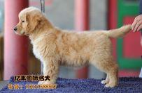 出售纯种金毛 赛系金毛价格 北京亿丰犬舍出售